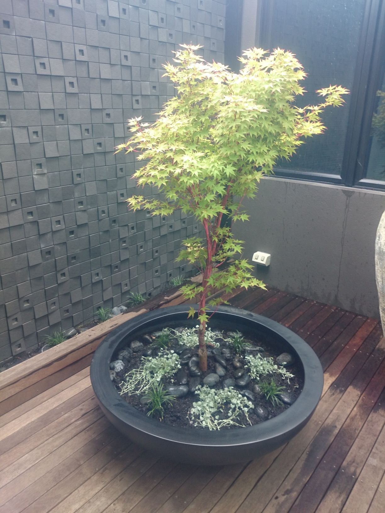 small prahan courtyard, Maple as the feature plant,  light weight bowl
